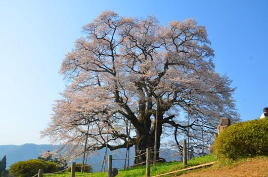 醍醐桜0028.jpg