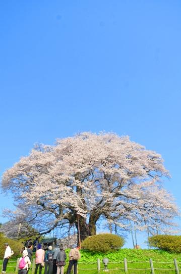 醍醐桜0054.jpg