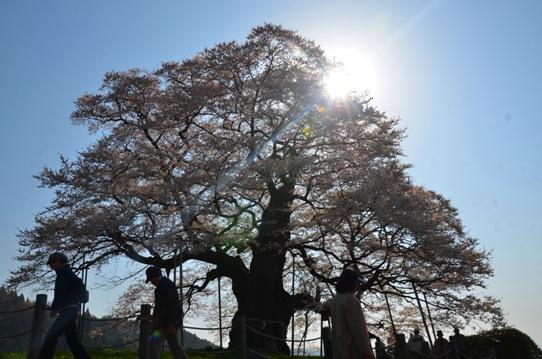 醍醐桜0071.jpg