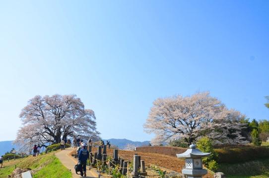 醍醐桜と2代目醍醐桜0108.jpg