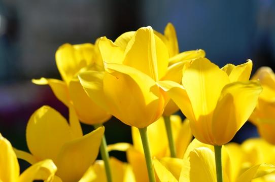 黄色いチューリップ・とっとり花回廊7413.jpg