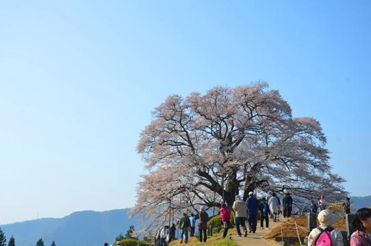 2醍醐桜0025.jpg