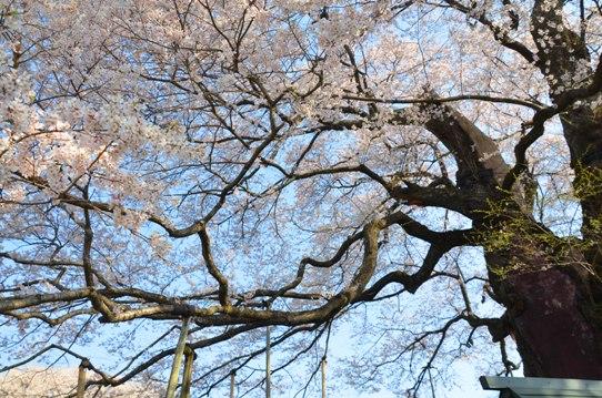 2醍醐桜0067.jpg