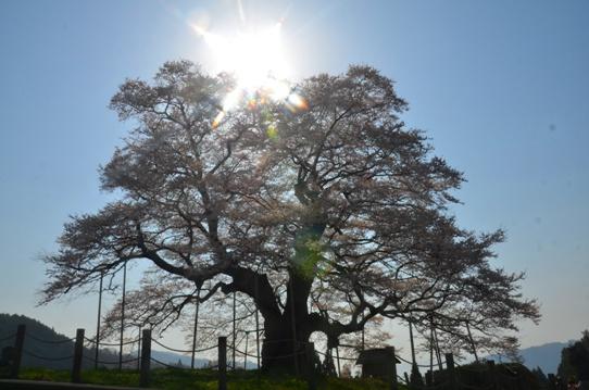 2醍醐桜0077.jpg